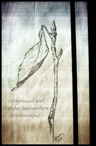 Cottonwood Leaf Pencil Sketch