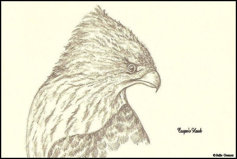 Cooper's Hawk--pencil sketch