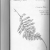 Licorice Fern (Polypodium glycyrrhiza)--pencil sketch.