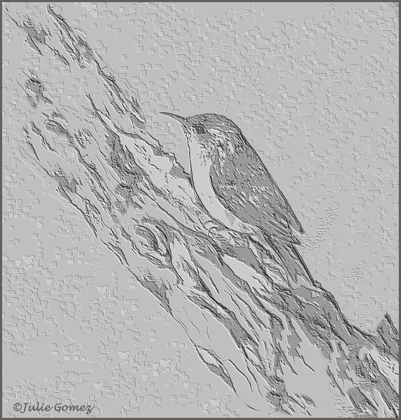 Soaking rains don't seem to bother a brown creeper (Certhia americana) that finds insects hiding in the tree bark. (Pencil drawing--2012)