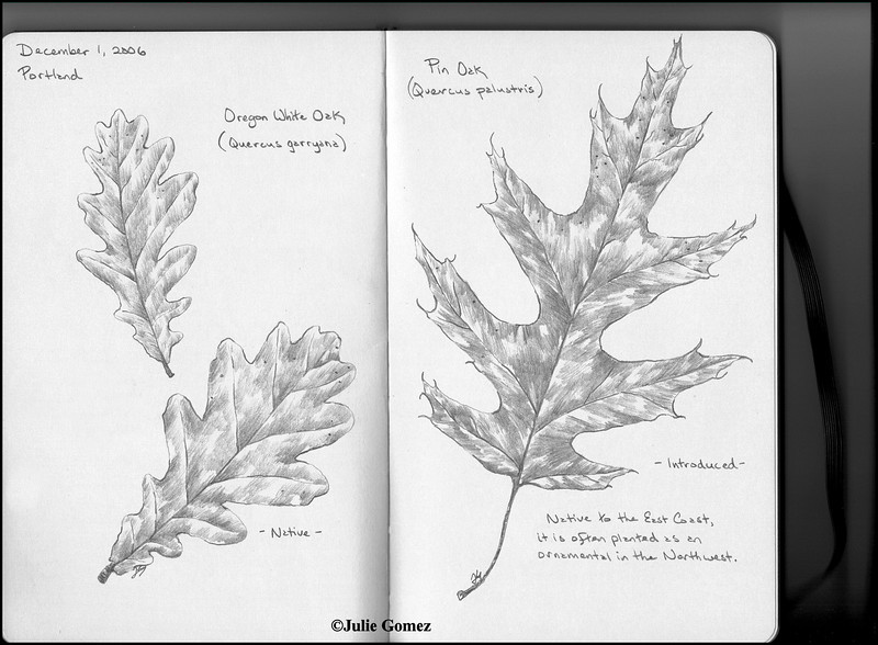 Oregon White Oak (Quercus garryana) & Pin Oak (Quercus palustris)--pencil sketch.