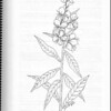 """Fireweed"" illustration (page 109) from ""Medicinal Plants of the Pacific Northwest"" by Krista K. Thie (Longevity Herb Press, 1999)"