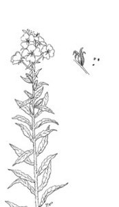 """Evening Primrose (Oenothera biennis)--pen & ink illustration from my book """"Collecting Wild Herbs""""--Order you copy at:  <a href=""""http://www.amazon.com/Guide-Collecting-Herbs-Julie-Gomez/dp/0888393903/ref=sr_1_5?s=books&ie=UTF8&qid=1333673494&sr=1-5"""">http://www.amazon.com/Guide-Collecting-Herbs-Julie-Gomez/dp/0888393903/ref=sr_1_5?s=books&ie=UTF8&qid=1333673494&sr=1-5</a>"""