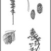 """Lodgepole Pine and Shore Pine Pen & Ink illustrations:  Shore pine cone with needles appears on Anne Everitt's Blog """"Come and Bake Bread"""" 2012 @ <a href=""""http://comebreakbread.com/2012/09/29/reasons-to-get-your-kids-out-in-nature-with-favorite-nature-resources-and-a-printable/#comments"""">http://comebreakbread.com/2012/09/29/reasons-to-get-your-kids-out-in-nature-with-favorite-nature-resources-and-a-printable/#comments</a>"""