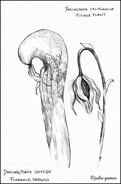 Pitcher Plant (Darlingtonia californica)--Florence, Oregon.  (Pencil sketch 2010)