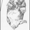 Townsend's Mole (Scapanus townsendii)--pencil sketch.  This is the Northwests largest mole.  It spends much of its life underground scouring tunnels in search of earthworms while at the same time, aerating the soil.  In cold weather, the animal tunnels deeper for warmth.