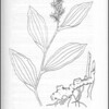 """False Solomon's Seal"" illustration (page 189) from ""Medicinal Plants of the Pacific Northwest"" by Krista K. Thie (Longevity Herb Press, 1999)"
