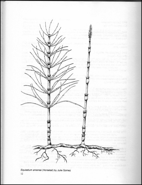 """""""Horsetail"""" illustration (page 12) from """"Medicinal Plants of the Pacific Northwest"""" by Krista K. Thie (Longevity Herb Press, 1999)"""