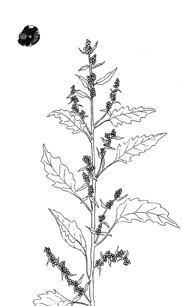 """Lamb's Quarters (Chenopodium album)--pen & ink illustration from my book """"Collecting Wild Herbs""""--Order your copy at:  <a href=""""http://www.amazon.com/Guide-Collecting-Herbs-Julie-Gomez/dp/0888393903/ref=sr_1_5?s=books&ie=UTF8&qid=1333673494&sr=1-5"""">http://www.amazon.com/Guide-Collecting-Herbs-Julie-Gomez/dp/0888393903/ref=sr_1_5?s=books&ie=UTF8&qid=1333673494&sr=1-5</a>"""