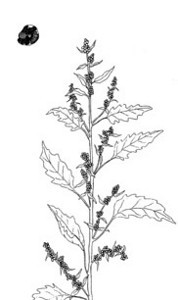"Lamb's Quarters (Chenopodium album)--pen & ink illustration from my book ""Collecting Wild Herbs""--Order your copy at:  <a href=""http://www.amazon.com/Guide-Collecting-Herbs-Julie-Gomez/dp/0888393903/ref=sr_1_5?s=books&ie=UTF8&qid=1333673494&sr=1-5"">http://www.amazon.com/Guide-Collecting-Herbs-Julie-Gomez/dp/0888393903/ref=sr_1_5?s=books&ie=UTF8&qid=1333673494&sr=1-5</a>"