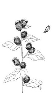 """Burdock (Arctium minus)--pen & ink illustration from my book """"Collecting Wild Herbs""""--Order you copy at:  <a href=""""http://www.amazon.com/Guide-Collecting-Herbs-Julie-Gomez/dp/0888393903/ref=sr_1_5?s=books&ie=UTF8&qid=1333673494&sr=1-5"""">http://www.amazon.com/Guide-Collecting-Herbs-Julie-Gomez/dp/0888393903/ref=sr_1_5?s=books&ie=UTF8&qid=1333673494&sr=1-5</a>"""