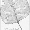 Black Cottonwood Leaf (Populus balsamifera)--pencil sketch.