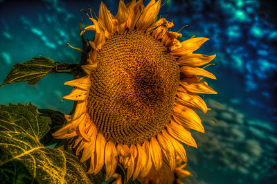 Sunflower against Aqua Sky