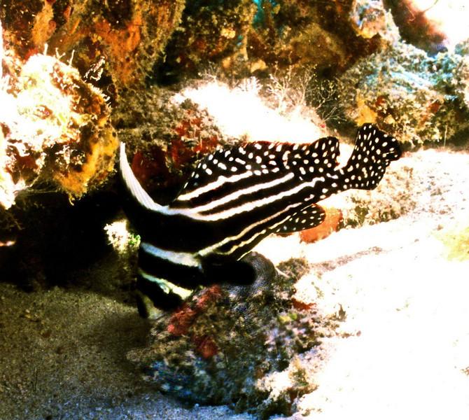 Adult Drumfish2