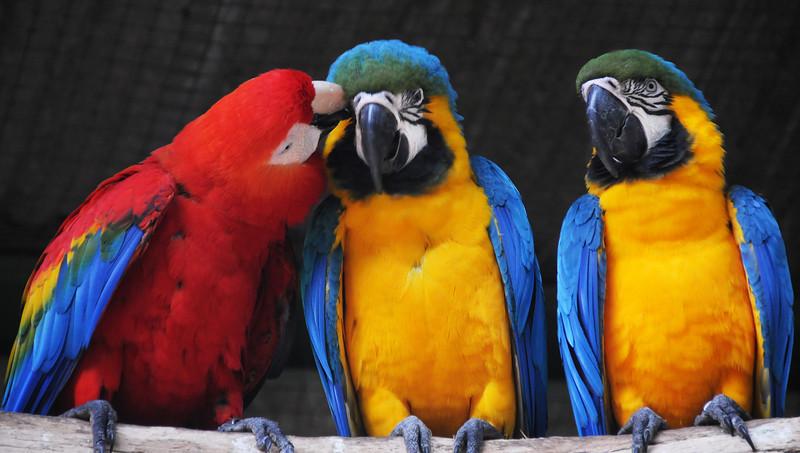 Macaws at Parque das Aves, Iguacu