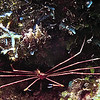 SpiderCrab Bonaire