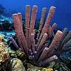 Tube Sponge Bonaire