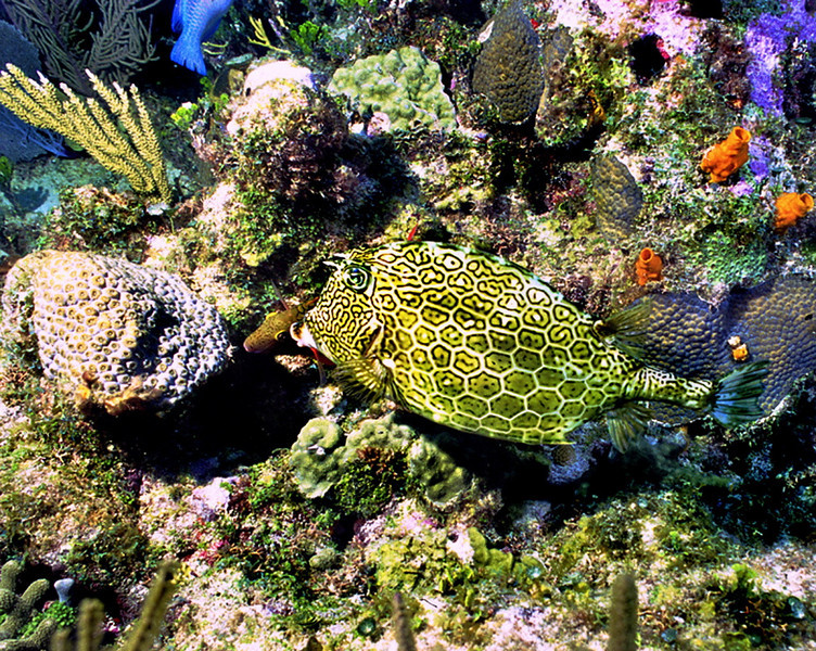 **Honeycomb Cowfish