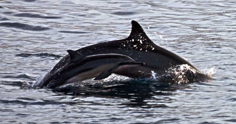 Spinner Dolphins    Mother and Baby