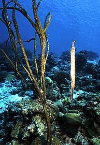 Trumpet (vertical) Bonaire