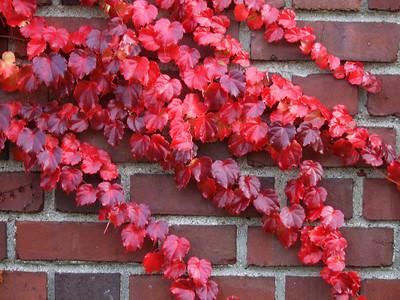 SV100611Wild Grape Vine in the Fall 1_edited 8x10 in