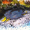 **Splendid Toadfish