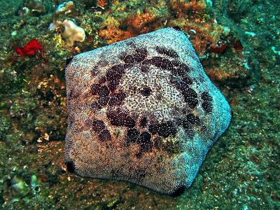 Pin Cushion Starfish