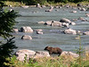 Grizzly fishing along the Chilkoot River in southeast Alaska this past summer...