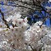 Abril 2012 - Cerezos en Tatebayashi, en un paseo a las prefecturas de Gunma e Ibaraki, al noroeste de Tokio<br /> דובדבנים פורחים בטיול מצפון לטוקיו