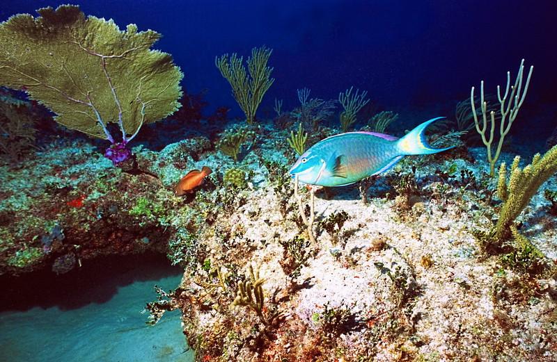 ParrotFish on Reef