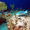 ParrotFish on Reef