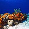 Orange Sponges