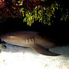 **NurseShark 4