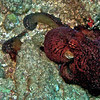 Octopus, Attempting to mate