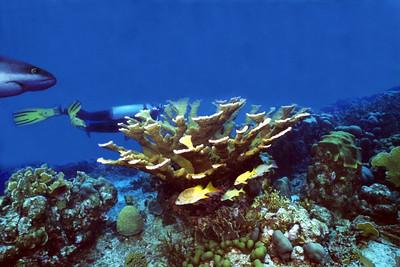 Staghorn & Diver1