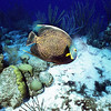 Angelfish 2