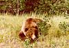 Yukon Grizzly.....