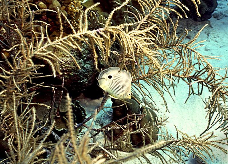 Butterflyfish Bonaire