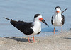Black Skimmer Pair at Over Huguenot Park #1 12/15
