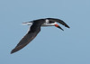 Black Skimmer Flying Over Huguenot Park #3 12/15
