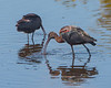 Glossy Ibis Feedeing at MINWR #1 01/15