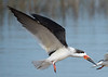 Black Skimmer Flying Over Huguenot Park #1 12/15