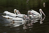 White Pelicans Swimming at Spoonbill Pond #6 04/16