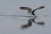 Black Skimmer Fishing at Spoonbill Pond #4 04/16