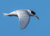 Forsters Tern Flying over Black Point Drive,  MINWR #1 01/16,