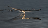 Black Skimmer Fishing at Spoonbill Pond #3 07/16