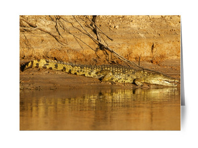 NILE CROCODILE, ZAMBEZI RIVER