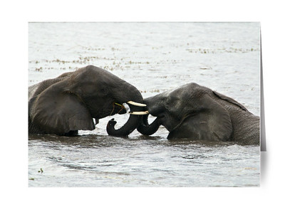 DUELING PACHYDERMS, CHOBE
