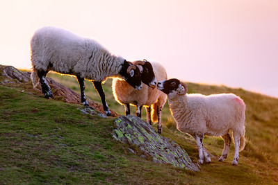Sunrise Sheep, Keswick, Lake District, England