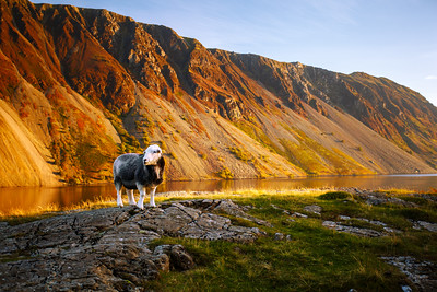 Herdwick Sheep, Wasdale, Lake District, Cumbria, England